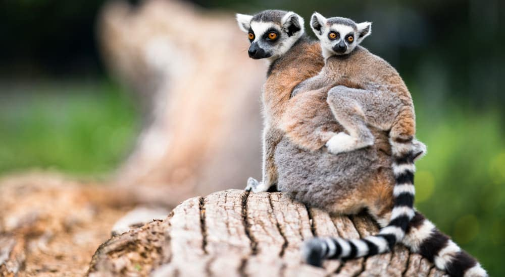 Two lemurs are shown at the Duke Lemur Center.